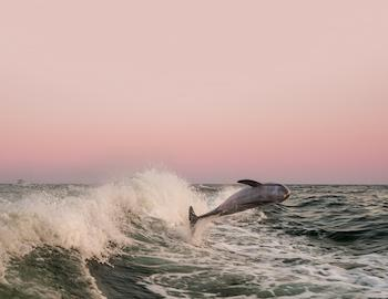 dolphin jumping out of wave in gulf of mexico