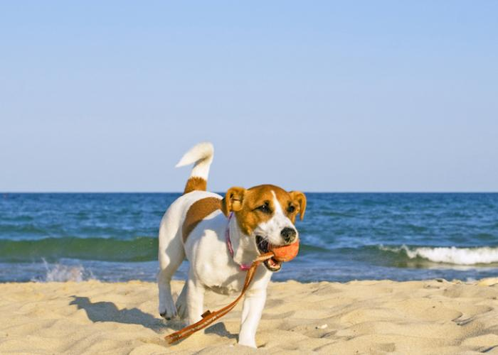 dog at beach, jack russell playing with ball on beach