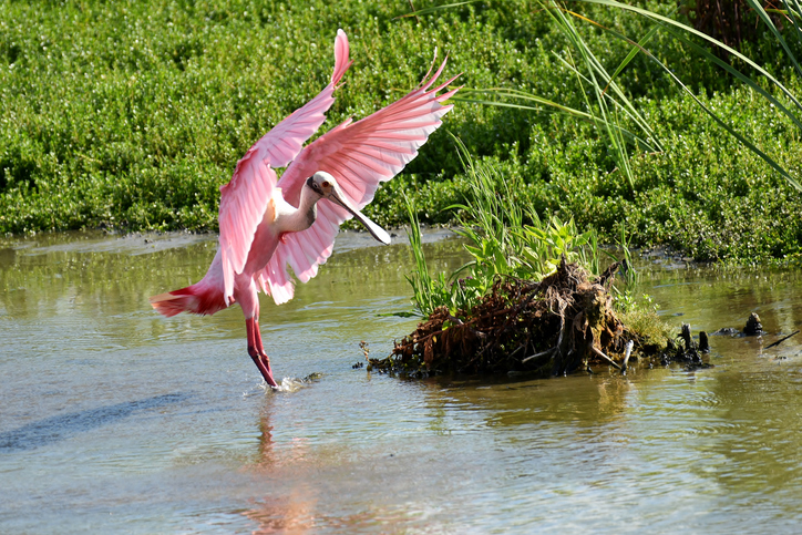 A Roseate Spoonbil lands in the water